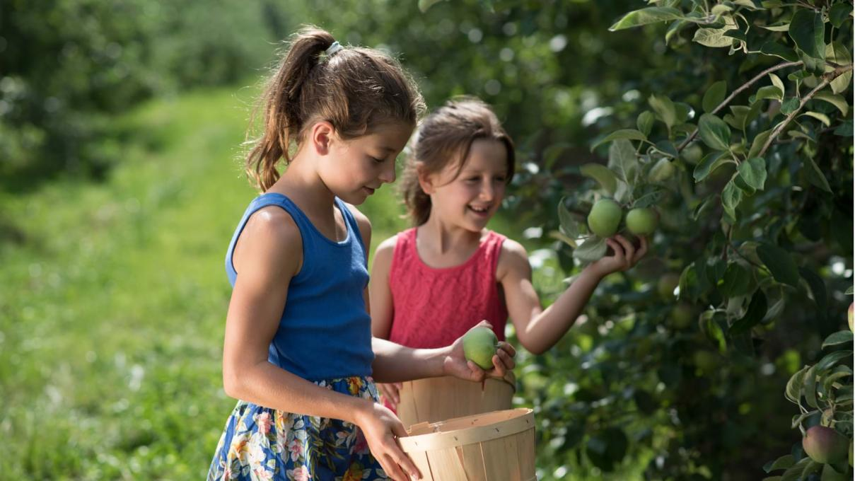 Two little girls pick apples in an orchard on Ile d'Orléans.