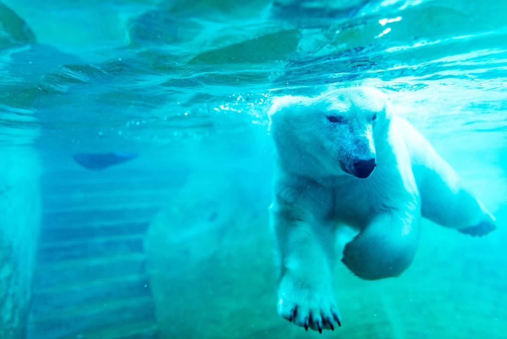 Polar bear swimming underwater at the Aquarium du Québec.