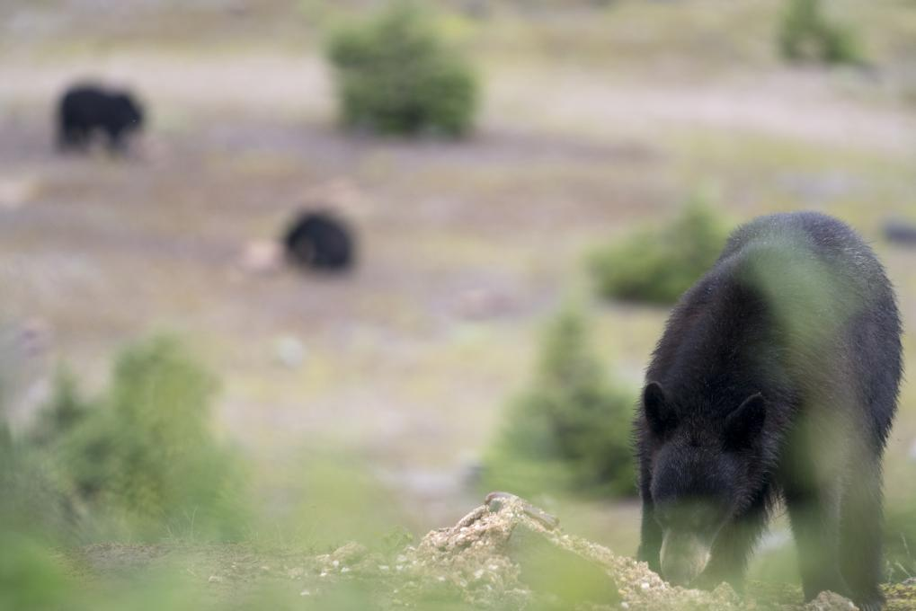 Observation of three black bears in summer, in the Réserve faunique des Laurentides.