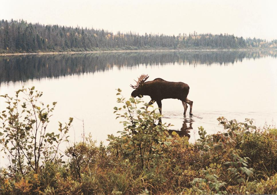 A moose walks in the water, near the shore of a lake, in the Réserve faunique des Laurentides in fall.
