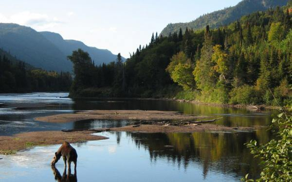 A moose, the emblematic animal of the park, drinks in the river in Jacques-Cartier National Park.