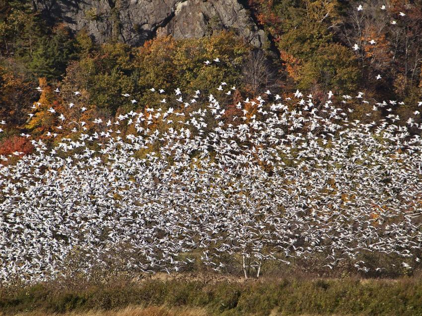 Snow Geese at the Cap Tourmente National Wildlife Area